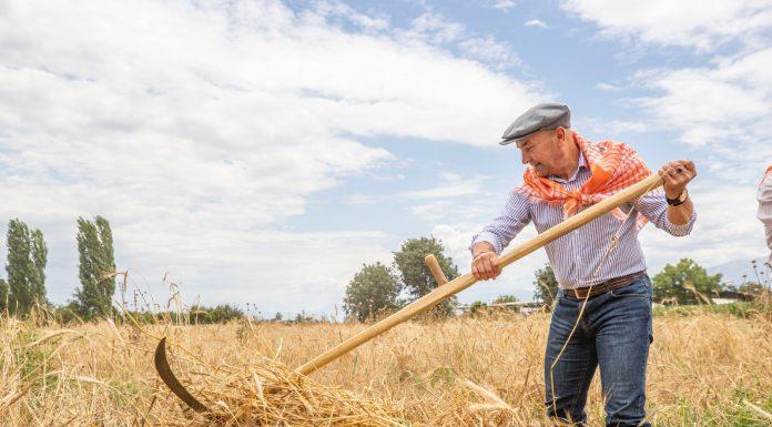 İzmir Büyükşehir Belediye Başkanı Tunç Soyer Ödemiş ve Tire'de ilk karakılçık buğdayı hasadına katıldı