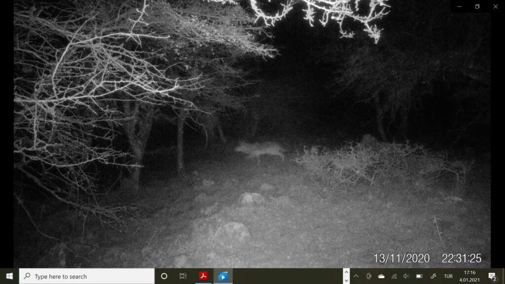 İzmir'in doğayla uyumlu Kadim Üretim Havzaları'nın tespiti için yürütülen çalışmalar kapsamında İzmir'de bir kurt kayıt altına alındı.